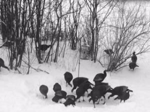 image-wild-turkeys